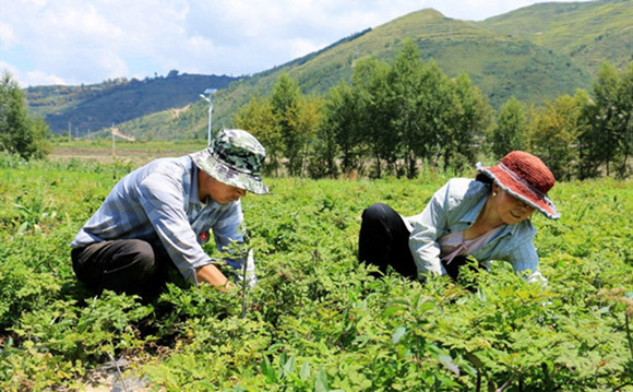Gansu herb farmers cure poverty while fighting coronavirus